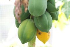 papayas Lizenzfreies Stockbild