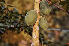 papayas Fotos de Stock