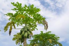 papayas Arkivbilder