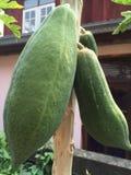 papayas Arkivbild
