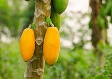Papayas, die vom Baum hängen Lizenzfreies Stockfoto