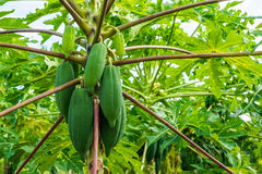 Papayas från tropisk skog i Thailand Arkivfoton