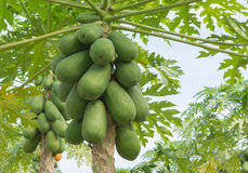 Papayas. Fruit of papayas hanging from the tree Stock Photos