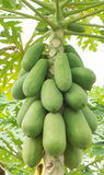 Papayas Stock Photos