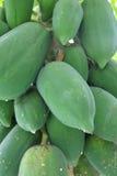 Papayas' fruit hanging Royalty Free Stock Photo