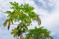 Papayas. In the garden are disease Stock Images