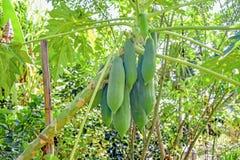 Papayas. Group of green papayas on tree Stock Photography