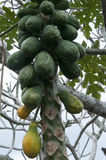 Papayas growing on a tree in Onomea Bay, Hawaii, USA. Royalty Free Stock Photo