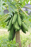 Papayas hanging from the tree Royalty Free Stock Photos