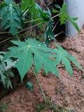 Papayas leaf. Seems a papaya trees after the fall of rainwater Royalty Free Stock Photography