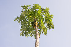 Papayas på dess träd Arkivfoto