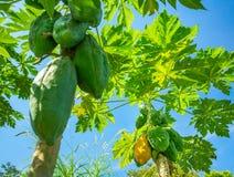 Papayas on a palm tree Royalty Free Stock Photos