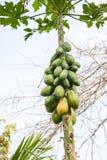 Papayas Papaya στο δέντρο Στοκ φωτογραφία με δικαίωμα ελεύθερης χρήσης