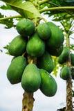 Papayas que crecen en árbol en el delta del Mekong Foto de archivo libre de regalías