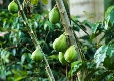 Papayas que maduran en árbol Imagen de archivo libre de regalías