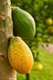 Papayas on Tree Stock Images