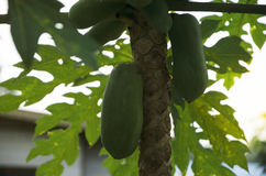 Papayas is on the tree. The stem is slender, surrounded by leaves Royalty Free Stock Images