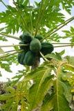Papayas verdes frescas que cuelgan en árbol en la granja imagen de archivo libre de regalías