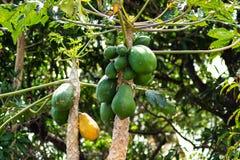 Papayas verdes y amarillas que cuelgan de ?rbol foto de archivo libre de regalías