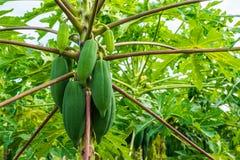 Papayas vom tropischen Wald in Thailand Stockfotos