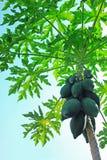 Papayaträd Arkivbild