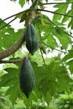 Papayaträd med hängande frukter i organiskt jordbruk för lantgårdträdgård i Asien arkivbild