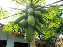 Papayaträd och grupp av frukt Arkivbild