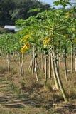 papayaväxt arkivfoton