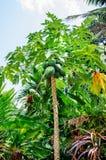 Papaye de fruit sur l'arbre Photographie stock