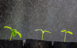 Papaye de pousse Images libres de droits