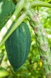 Papaye fraîche Image stock
