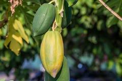 Papaye, fruit tropical Photographie stock libre de droits