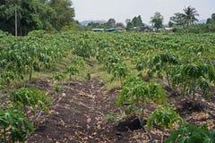 Papaye plantant la ferme, herbicide d'émergence de lutte contre les mauvaises herbes par courrier Photo stock