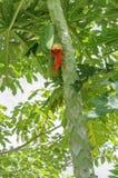 Papaye sur le papayer Image stock