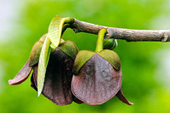 Papaye (triloba d'Asimina) Image stock