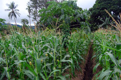 Papayer au champ de maïs Images stock