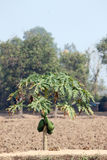 Papayers dans la plantation. Image stock