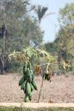 Papayers dans la plantation. Photo stock