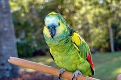 Papegaai royalty-vrije stock afbeelding