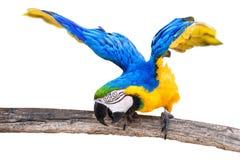 Papegaai stock foto