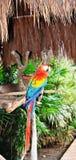 Papegaai. Stock Afbeeldingen
