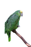 Papegaai of ara met groene en gele veren Stock Foto