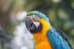 Papegaai, blauw-en-Gele Ara Stock Afbeeldingen