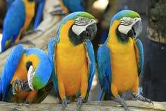 Papegaai - blauw-en-Gele Ara Royalty-vrije Stock Afbeeldingen