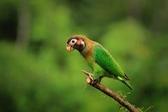 Papegaai bruin-met een kap Royalty-vrije Stock Foto's