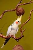 Papegaai cockatiel Stock Afbeelding