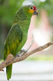 Papegaai Cucha in een boom Royalty-vrije Stock Foto