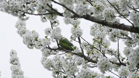 Papegaai die bloemen eten stock video