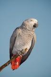 Papegaai die de camera tegen de blauwe hemel bekijkt. Stock Afbeeldingen