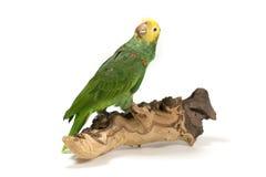 Papegaai die op hout wordt neergestreken Royalty-vrije Stock Foto